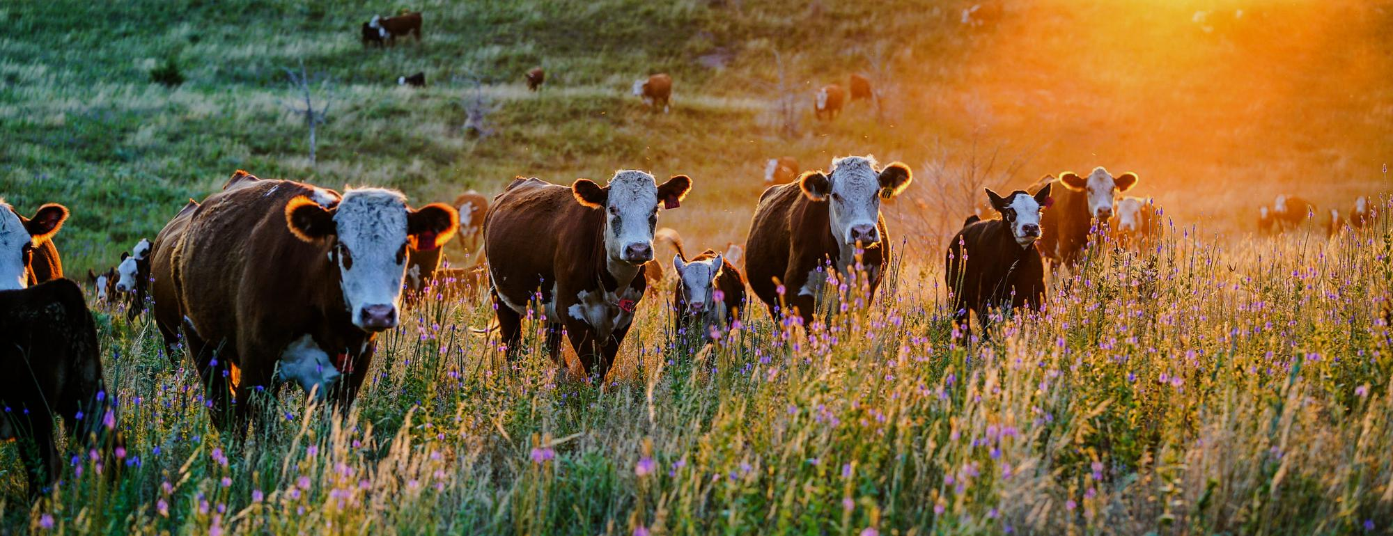 CLEAR Center Newsletter Signup Cattle Grazing in Field of Flowers at Sunset
