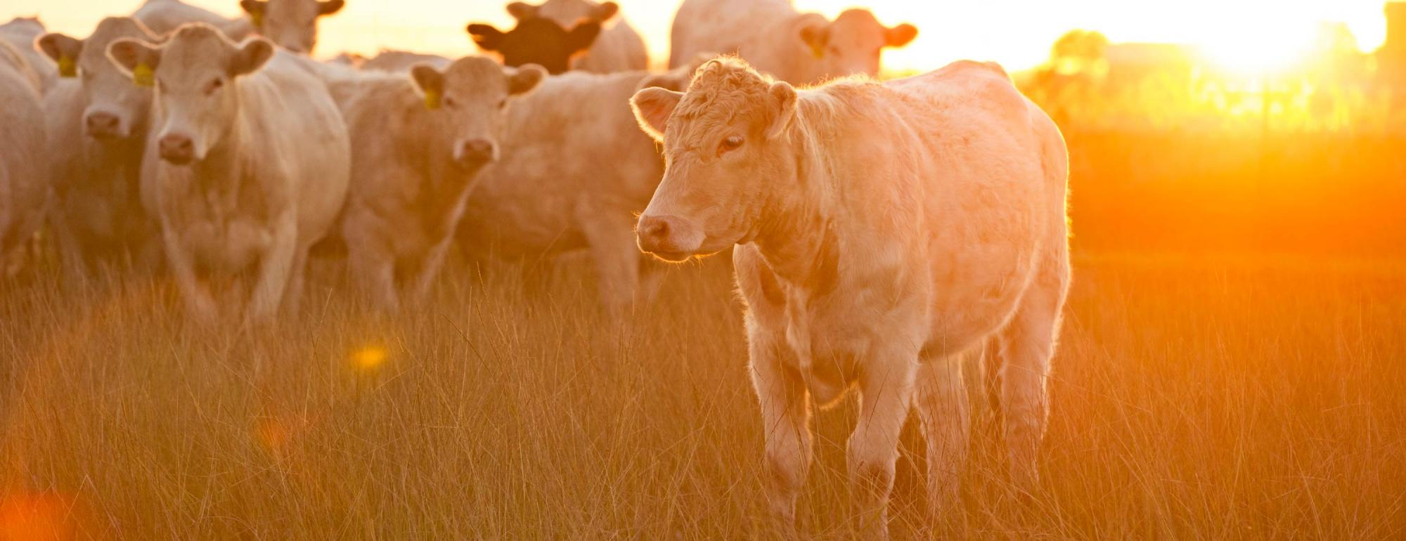 UC Davis CLEAR Center Cattle Climate Change
