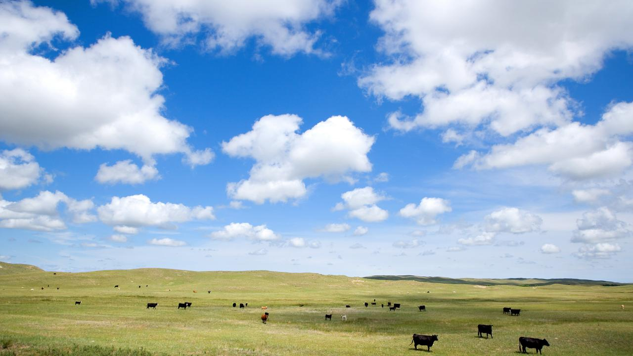 Cows grazing on rangeland.