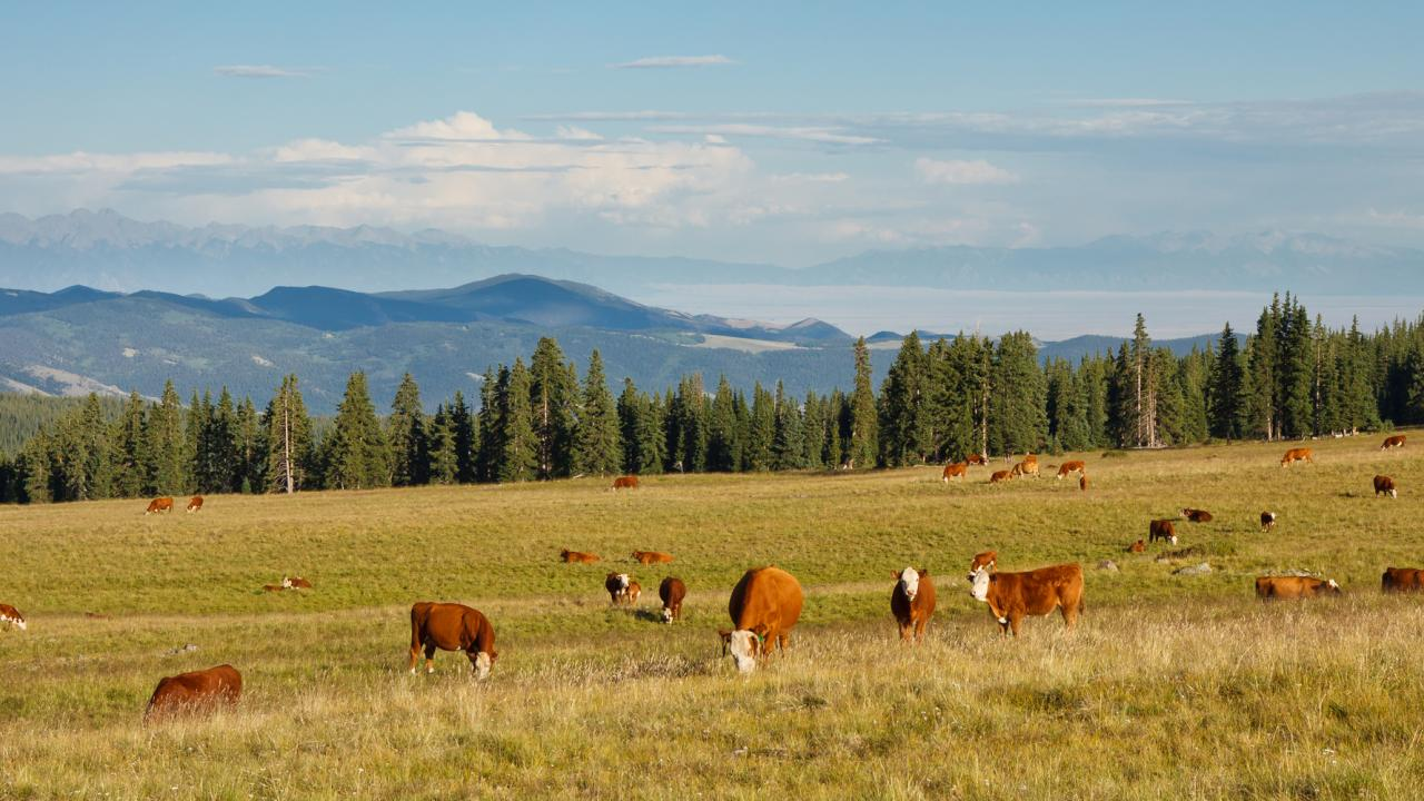 Cattle grazing on pasture in the Rocky Mountains, Colorado