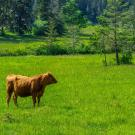 A lone brown cow stands on a bright green grazing pasture in Mayne Island, BC, Canada.